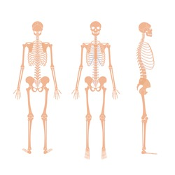 Human man skeleton anatomy in front, profile and back view. Vector isolated flat illustration of skull and bones. Halloween, medical, educational or science banner.