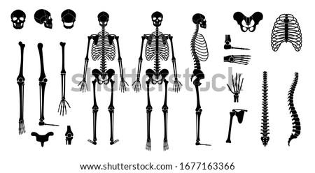 Human man skeleton anatomy in front, profile and back view. Vector isolated flat illustration of skull and bones. Halloween, medical, educational or science banner  Foto stock ©