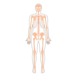 Human man skeleton anatomy in front view. Vector isolated flat illustration of skull and bones in body. Halloween, medical, educational or science banner.
