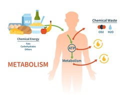 Human metabolism vector banner. Labeled chemical energy educational scheme. Explanation diagram with food carbohydrates, fats and proteins reactions to create ATP and heat. Biological diet infographic
