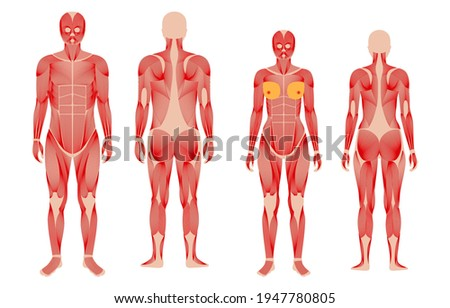 Human muscular system anatomical poster. Structure of muscle groups of men and women in comparison front and back view. Bodybuilding, fitness, strong body concept. Isolated flat vector illustration Stockfoto ©
