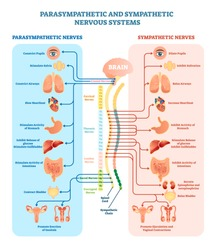 Human nervous system medical vector illustration diagram with parasympathetic and sympathetic nerves and  connected inner organs through brain and spinal cord. Educational information complete guide.
