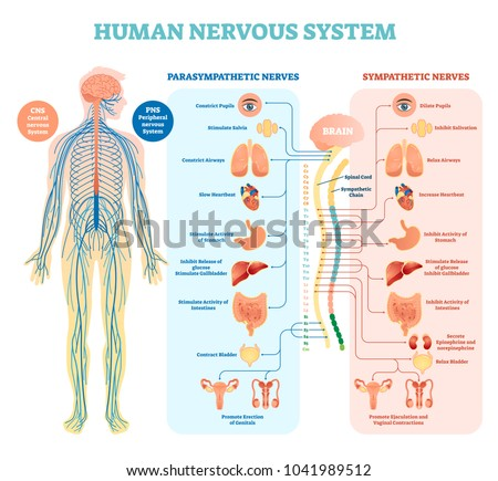 Human nervous system medical vector illustration diagram with parasympathetic and sympathetic nerves and all connected inner organs through brain and spinal cord. Complete guide.