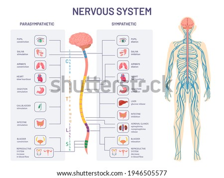 Human nervous system. Sympathetic and parasympathetic nerves anatomy and functions. Spinal cord controls body internal organs vector diagram. Illustration anatomy biology nerve Foto stock ©