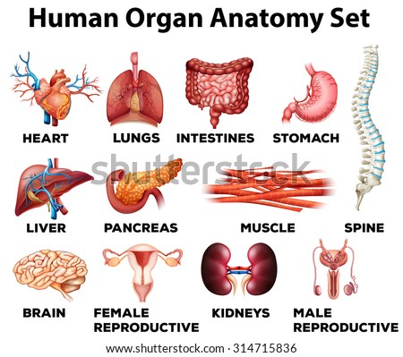 human organ anatomy set