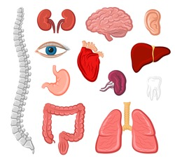 Human organ icons. Heart and lung, liver and ear, stomach, kidney and brain, eye and tooth, bladder and ear, spine and intestine isolated sign. Internal and external organs for medicine design