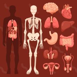 human organs,skeletal