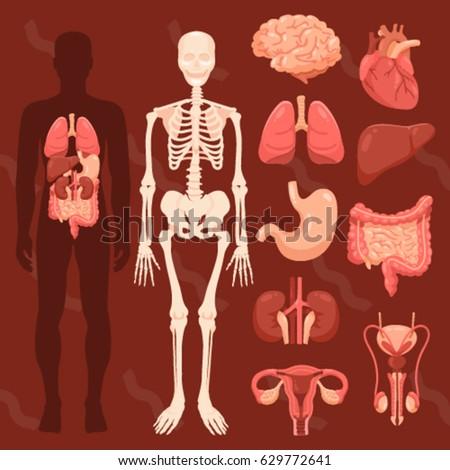 human organs skeletal