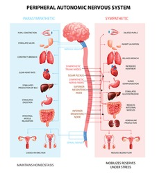 Human peripheral autonomic nervous system with sympathetic spinal cord neurons signal communication realistic colorful scheme vector illustration