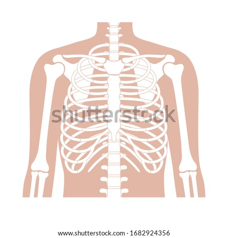 Human rib cage anatomy flat vector illustration. Man torso skeletal system. Anatomically correct chest ribcage isolated on white background. Medical, educational and science banner  Stock photo ©
