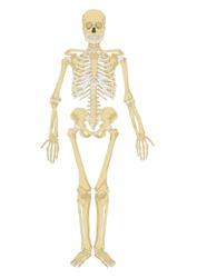 human skeleton. Anatomy scheme. Vector illustration. Male human body skeletal system. Skeleton front view