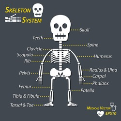 Human skeleton and all name of bone