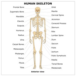 HUMAN SKELETON (Anterior view),color vector illustration