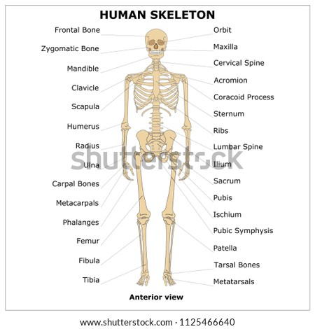 HUMAN SKELETON (Anterior view),color vector illustration stock photo