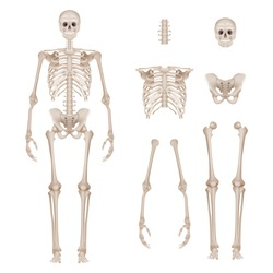 Human skeleton. Body parts skull bones hands foot spine anatomy detailed realistic vector illustration