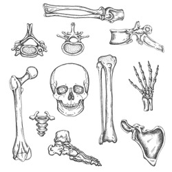 Human skeleton, bones and joints. Vector sketch isolated illustration. Anatomy symbols set. Medical orthopedic pictures. Drawing of knee, skull and spine