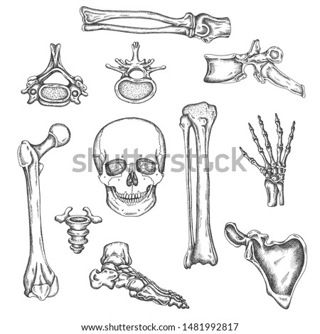 Human skeleton, bones and joints. Vector sketch isolated illustration. Anatomy symbols set. Medical orthopedic pictures. Drawing of knee, skull and spine Foto d'archivio ©