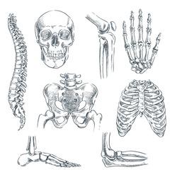 Human skeleton, bones and joints. Vector sketch isolated illustration. Hand drawn doodle anatomy symbols set.