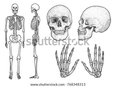1c6099f2ac8db Human skeleton collection illustration, drawing, engraving, ink, line art,  vector · cartoon skulls
