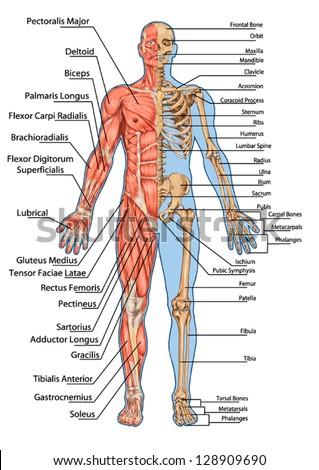 Royalty Free Anatomical Body Human Skeleton 225637768 Stock
