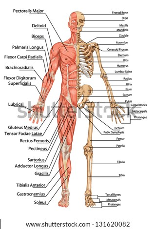 royalty-free human skeleton from the posterior view … #128909729, Muscles
