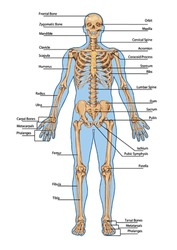 Human skeleton from the anterior view - didactic board of anatomy of human bony system