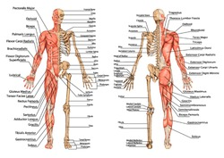 human skeleton from the posterior and anterior view - didactic board of anatomy of human bony and muscular system