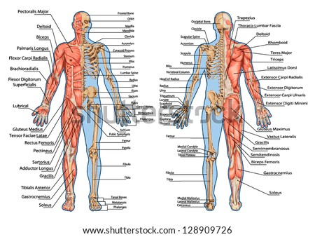 human skeleton from the posterior and anterior view didactic board of anatomy of human bony and muscular system