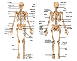 human skeleton from the posterior and anterior view - didactic board of anatomy of human bony system