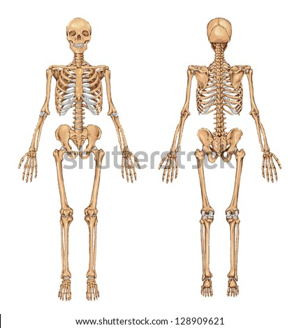 human skeleton from the posterior and anterior view didactic board of anatomy of human bony system