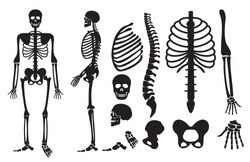 Human skeleton. Human bones skeleton silhouette collection set. High detailed Vector illustration.