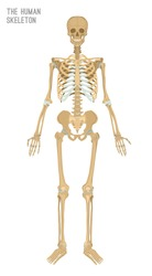 Human skeleton image. Vector illustration isolated on a white background useful for creating medical and scientific materials. Anatomy, medicine and biology concept.