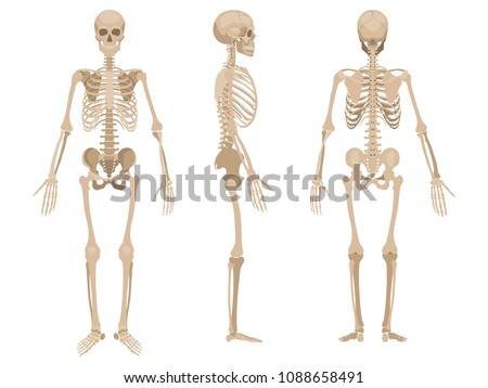 human skeleton in front