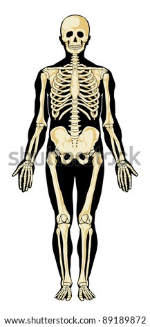 human skeleton in separate