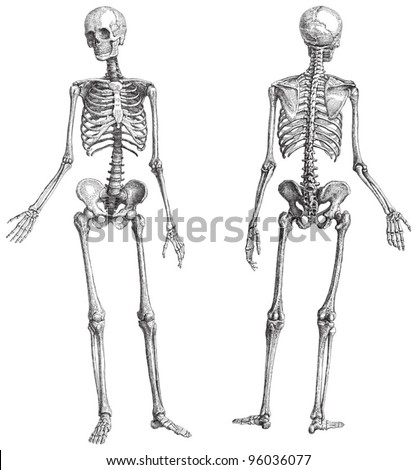 Human skeleton (male) / vintage illustration from Meyers Konversations-Lexikon 1897