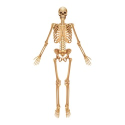 Human skeleton. Medical 3D anatomical banner. Realistic yellow bones of limbs or skull, trunk with spine and ribs. Front view of isolated skeletal system. Vector detailed scientific educational model