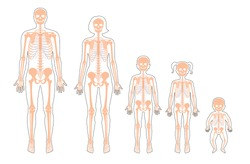 Human skeleton of different ages anatomy front view. Man, woman, newborn, girl and boy, children vector isolated flat illustration of skull and bones in body. Medical, educational or science banner.