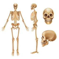 Human skeleton. Realistic front view of bones and joints, medical 3D illustration of skeleton elements. Vector anatomy illustration people skeletons on white background
