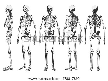 human skeleton set vector