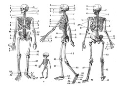 Human skeleton, vintage engraved illustration. Dictionary of words and things - Larive and Fleury - 1895.