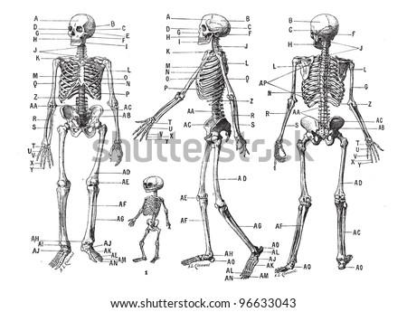 human skeleton  vintage