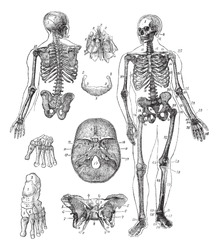 Human skeleton, vintage engraving. Old engraved illustration of Human skeleton from front and back with its functioning parts and their names.  Trousset encyclopedia (1886 - 1891).