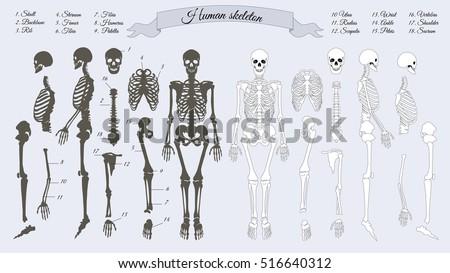 Human skeleton. White and black. Names of peple's bones. Skull, backbone, rib, stornum, femur, tibia, fibia, humerus, patella, ulna, radius, scapula, wrist, ankle, shoulder, sacrum, vertebra. Vector stock photo