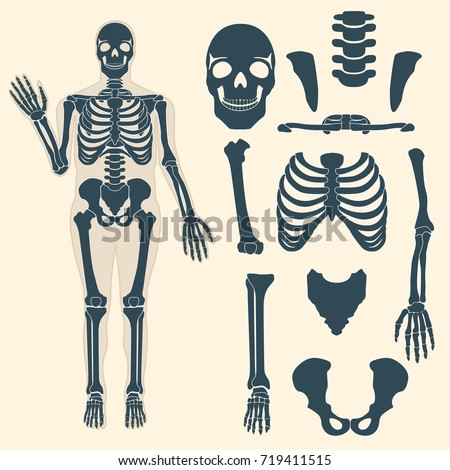 human skeleton with different
