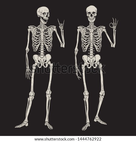 human skeletons posing isolated