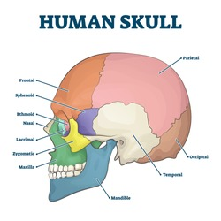 Human skull bones skeleton labeled educational scheme vector illustration. Anatomical head zones separated with colors with side view diagram. Medicine study handout with parts title description.