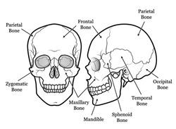Human Skull Chart