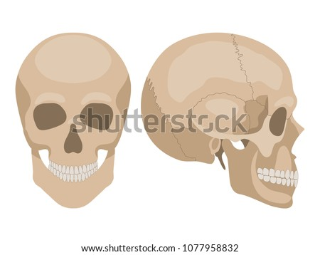 41e130ba2b62d Human skull - Download Free Vector Art, Stock Graphics & Images