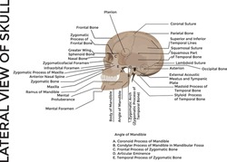 human skull, medical poster, anatomical medical chart poster human skull, skull bones, poster for training residents in medical schools, detailed description of human head, vector graphics to design