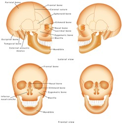 Human Skull structure. Skull anatomy labeling. Medical model of a human skull isolated against a white background. Lateral and Frontal view of Human Skull